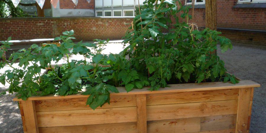 Gemüse wächst auf dem Schulhof